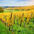 Landscape with autumn vineyards — Stock Photo #59250591