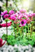 Pink poppy anemone flowers — Stockfoto