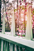 Flowering cherry tree in spring garden — Stok fotoğraf