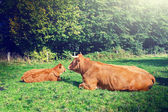 Cows grazing at green field — Stock Photo