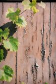 Rustic background with grapevine — Stock Photo