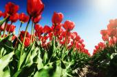 Blooming tulips field at sunny spring day — Stock Photo