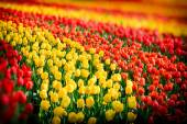 Flower bed of multicolor tulips at spring — Stock Photo