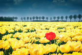 Flower bed of yellow tulips — Stock Photo