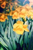Spring yellow daffodils — Stock Photo