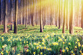 Spring forest covered by yellow daffodils — Stock Photo
