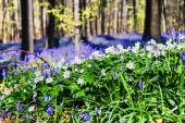 Forest covered with bluebells and anemones — Stock Photo
