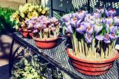Flower pots with muticolor crocuses — Stock Photo