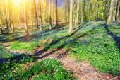 Spring forest covered by bluebells — Stock Photo