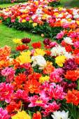 Flower bed of tulips — Stock Photo