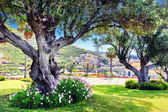 Old olive trees in summer city park — Stock Photo