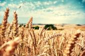 Golden wheat field at sunny day — Stock Photo