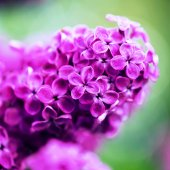 Beautiful spring lilac flowers,  selective focus — Stock Photo
