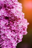 Beautiful spring lilac flowers, outdoors — Stock Photo