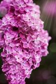 Beautiful spring lilac flowers, outdoors, — Stock Photo