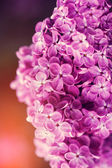 Spring lilac flowers, outdoors, — Stock Photo