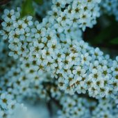 Branchsmall flowers, bush of small white florets. — Stock Photo