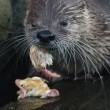 Постер, плакат: North American river otter