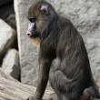 Mandrill (Mandrillus sphinx) — Stock Photo #58786391