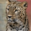 Persian leopard — Stock Photo #58786539