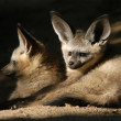 Bat-eared fox cubs — Stock Photo #58786783