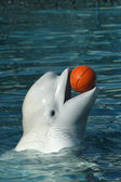 Beluga whale playing basketball. — 图库照片