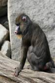 Mandrill (Mandrillus sphinx) — Stock Photo