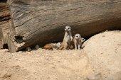 Meerkats (Suricata suricatta) — Stok fotoğraf