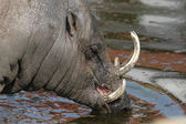 Babirusa (Babyrousa babyrussa) — Stock Photo