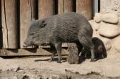 Collared peccary feeding piglets. — Foto de Stock