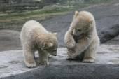 Two polar bear cubs — Stock Photo