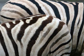 Damara zebras — Stock Photo