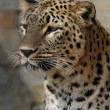 Persian leopard — Stock Photo #58855291