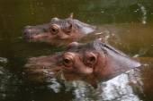 Two hippopotamuses — Stock Photo