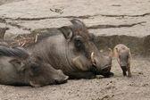Desert warthogs — Stock Photo
