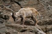 Female Himalayan tahr — Stock Photo