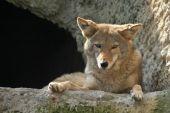 Coyote (Canis latrans) — Stock Photo