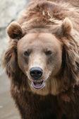 Female Kamchatka brown bear — Stock Photo