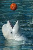 Beluga whale — Stock Photo