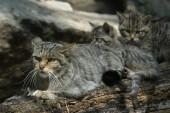 European wildcat — Stock Photo