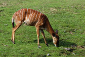 Female nyala antelope — Stock Photo