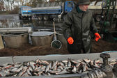 Mass fishing in South Bohemia — Stock Photo