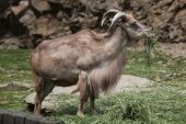 Barbary sheep (Ammotragus lervia) — Stock Photo