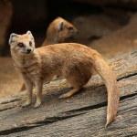 Yellow mongooses (Cynictis penicillata) — Stock Photo #75059491
