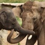 Indian elephants (Elephas maximus indicus) — Stock Photo #75059553