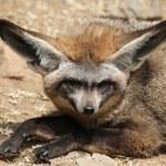 Bat-eared fox (Otocyon megalotis). — Stock Photo #75059583