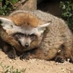 Bat-eared fox (Otocyon megalotis). — Stock Photo #75059617