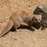 Yellow mongoose (Cynictis penicillata) — Stock Photo #75059713