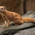 Yellow mongoose (Cynictis penicillata) — Stock Photo #75059743