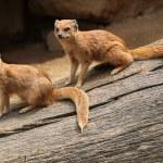 Yellow mongooses (Cynictis penicillata) — Stock Photo #75059809